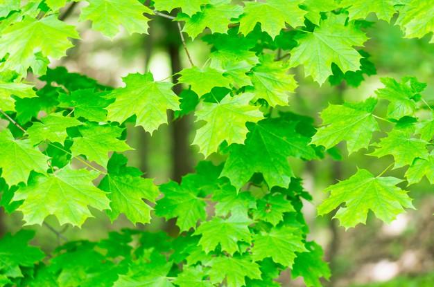 beau-coup-feuilles-erable-vertes-arbres_181624-12708.jpg
